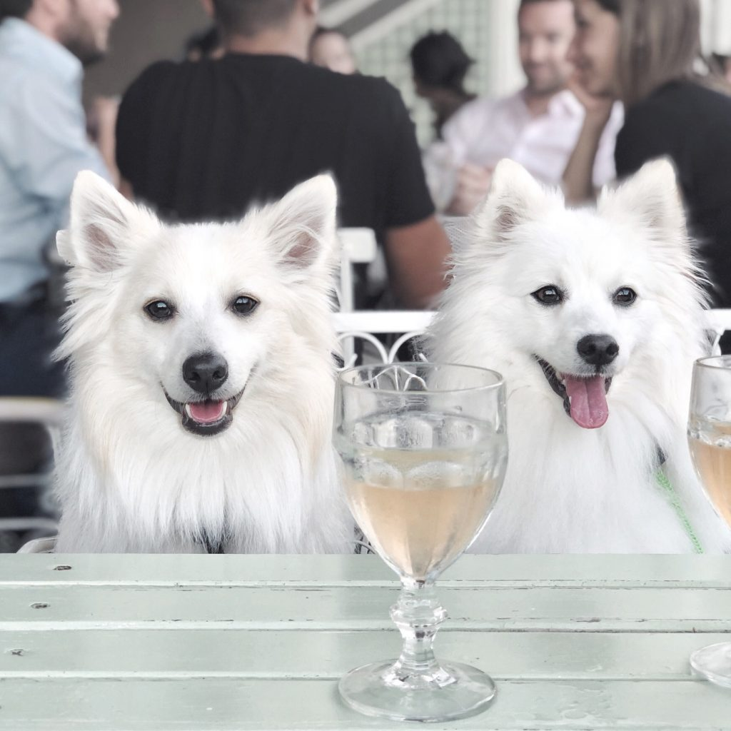 Two white dogs sitting at a table with glasses of champagne in front of them