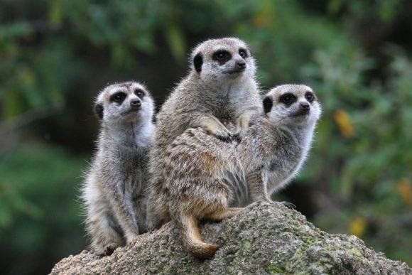 3 meerkats huddled together on a rock