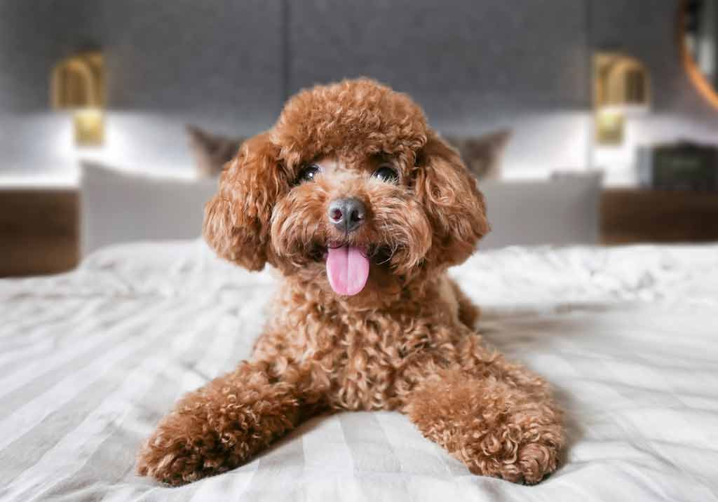 A little toy poodle on a bed in a hotel