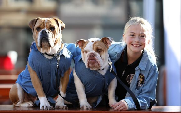 Two small brown and white dogs with a smiling blonde girl beside them