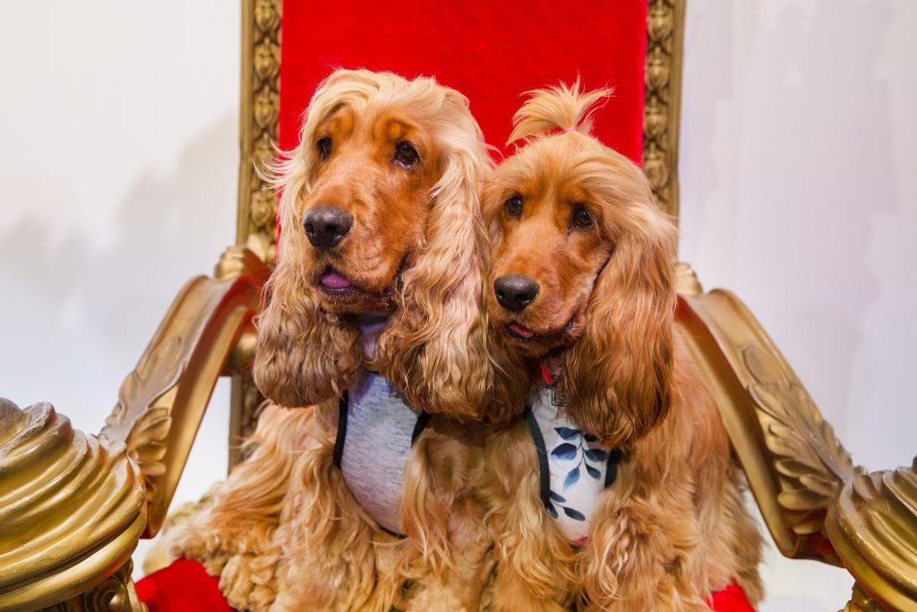 two small dogs sitting on a throne with ties on