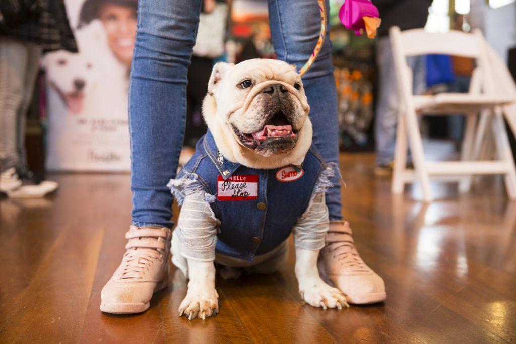 bulldog on a leash with a denim jacket on