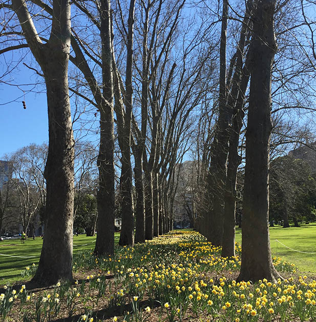 Two rows of trees in a park with a lawn full of daffodills