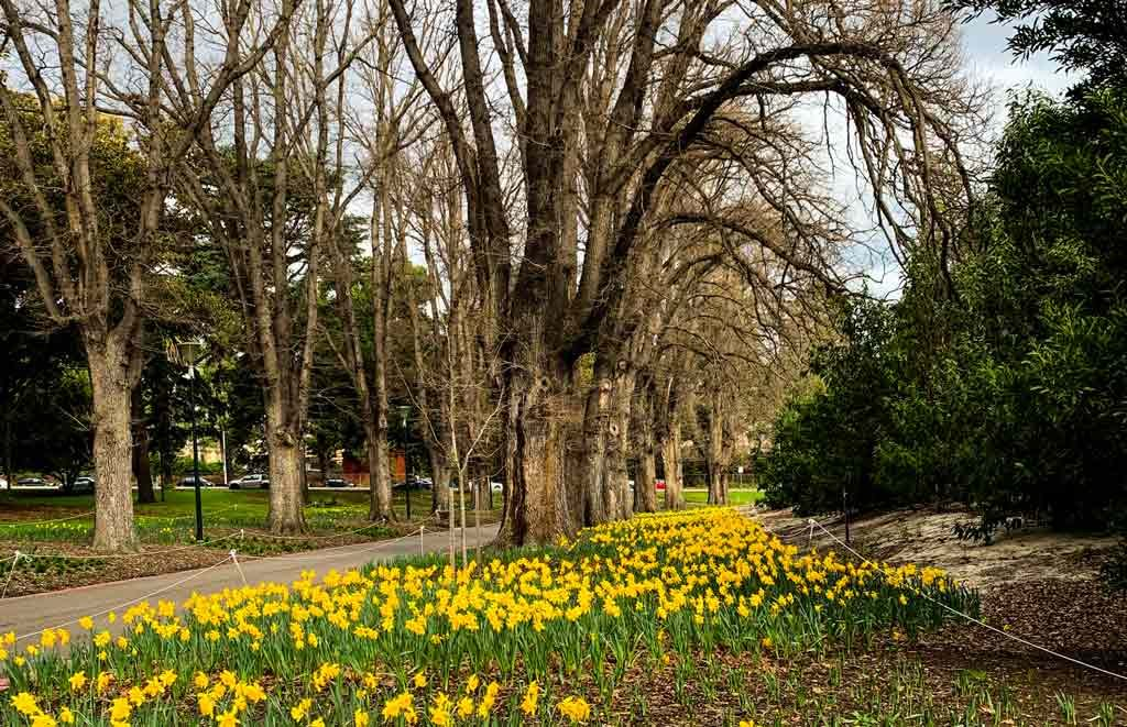 Daffodils in a garden with trees behind it
