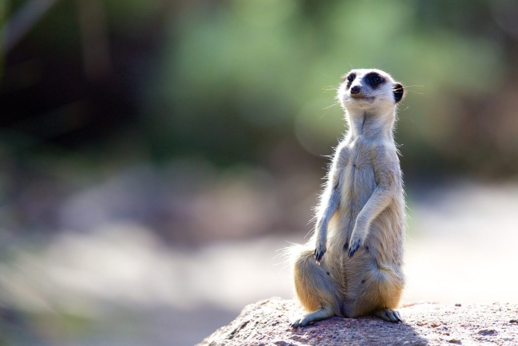 A meerkat sitting up on its hind legs on a rock