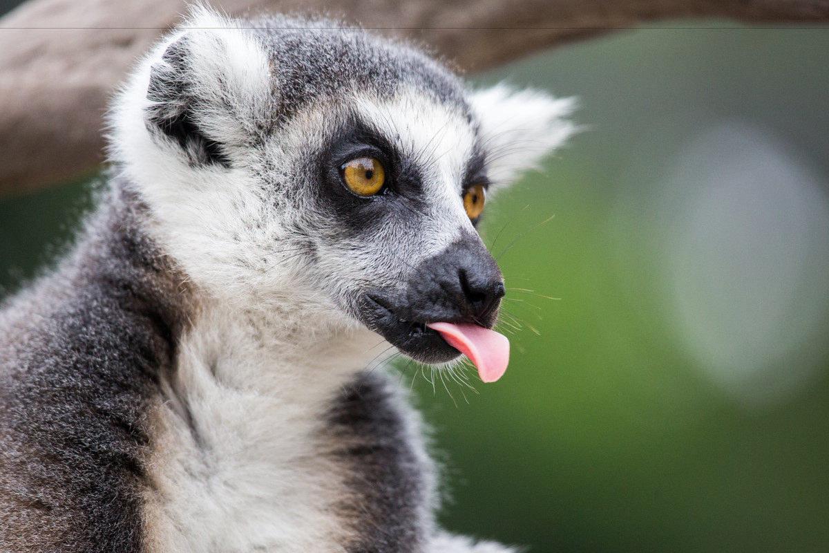 An animal poking its tongue out