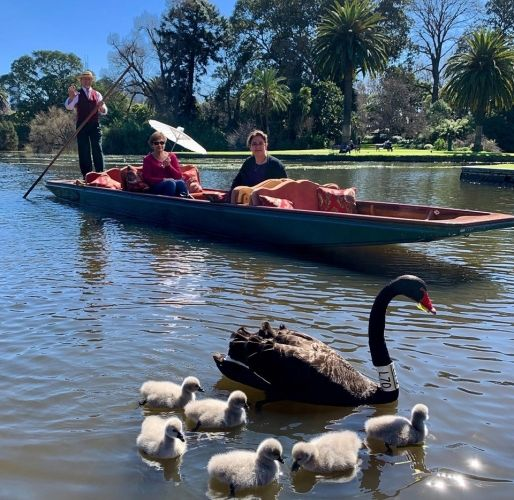 Punting on the lake with black swan and cygnets at the Royal Botanic Gardens.