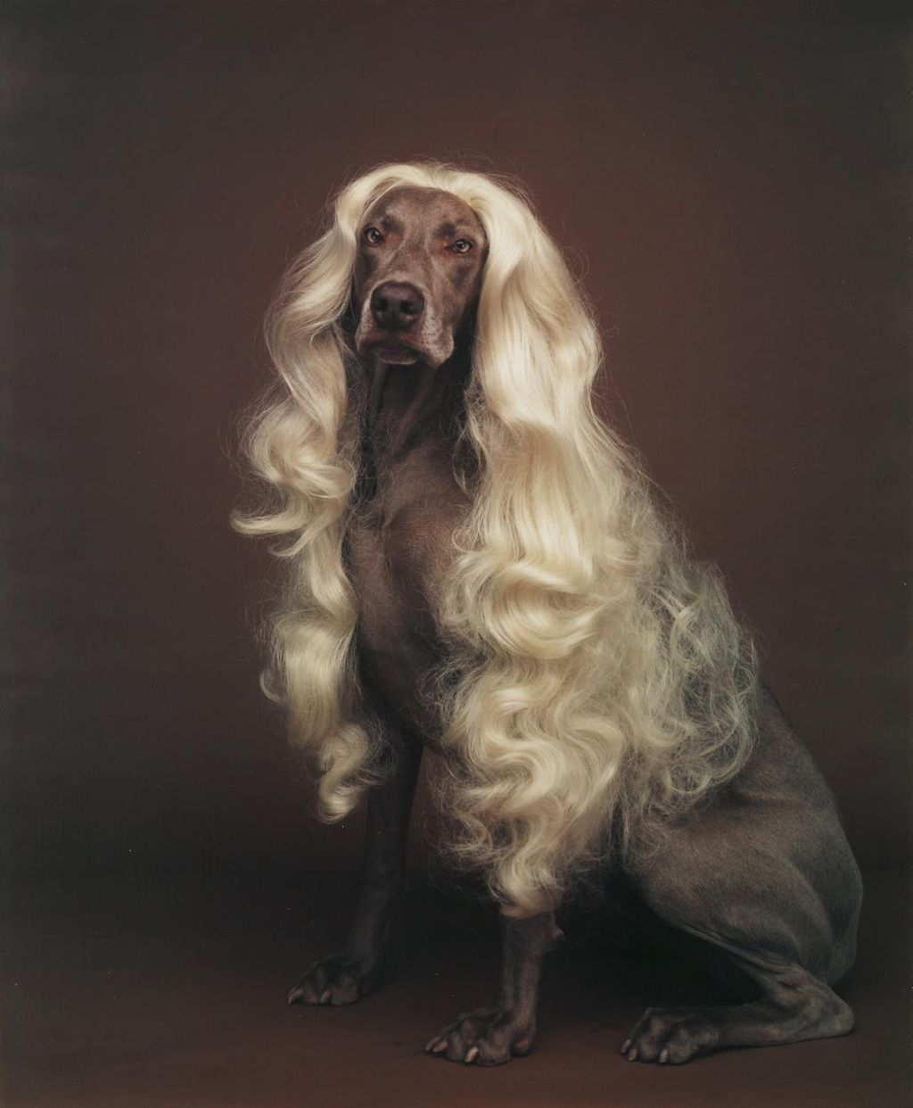 A dog in a blonde wig. National Gallery of Victoria, Melbourne Purchased, 1992 © William Wegman This digital record has been made available on NGV Collection Online through the generous support of the Bowness Family Foundation