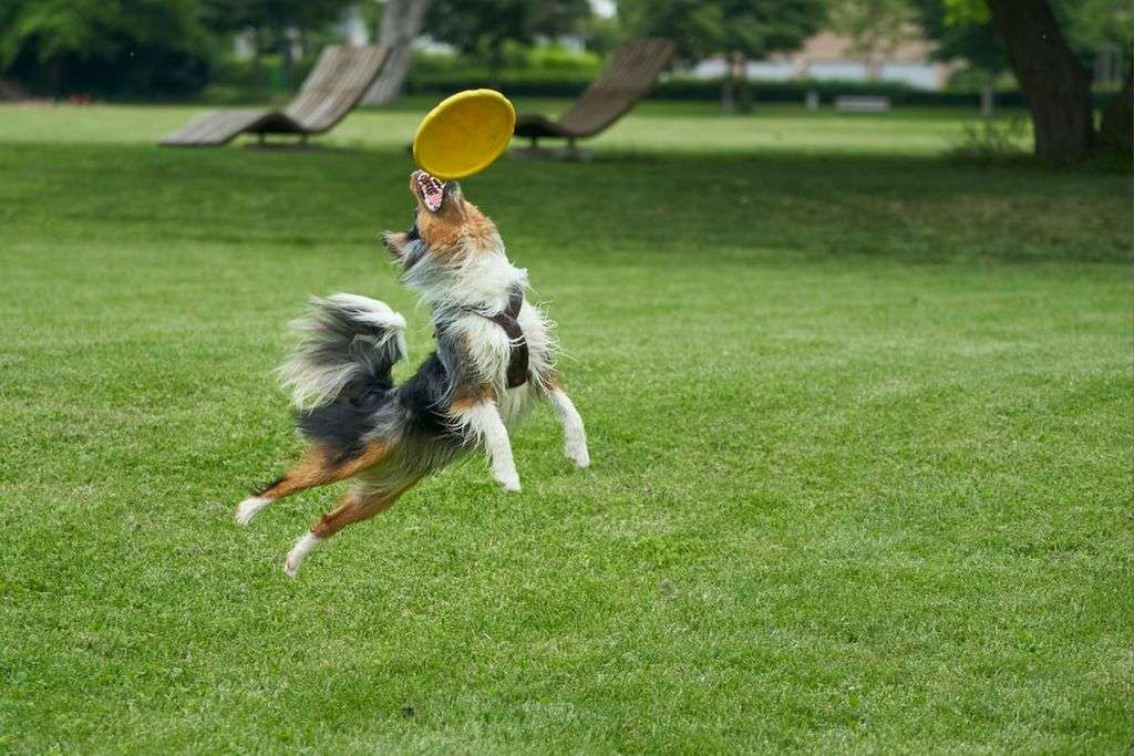 A dog jumping up to catch a frisbee